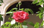 Роза в саду. Толедо.