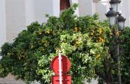Померанцы - дикие апельсины. Растут прямо на улицах. Севилья.